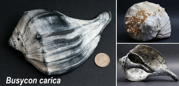 The mystery of Jersey Shore shells, rocks and other things you find