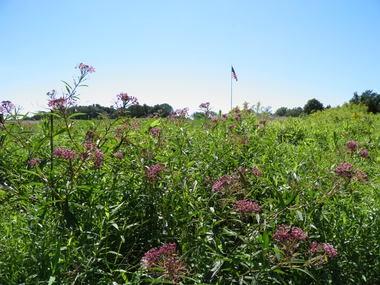 Native milkweed at Trump National Golf Course.