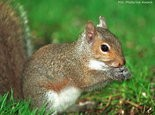 Gray squirrel (file photo)