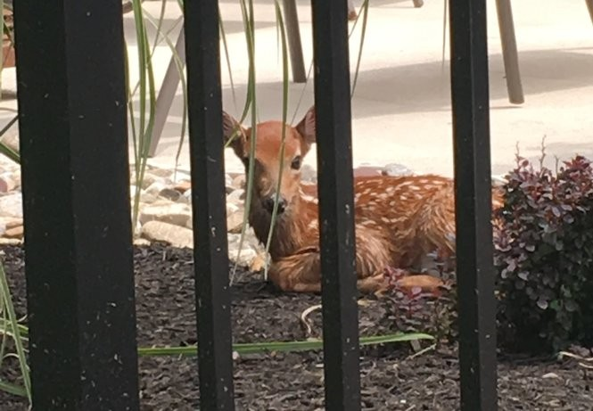 A Freehold Township mom said she found a young deer lying by her pool soaking wet after it had apparently been in the water. (Photo courtesy of Brittney Benincasa)