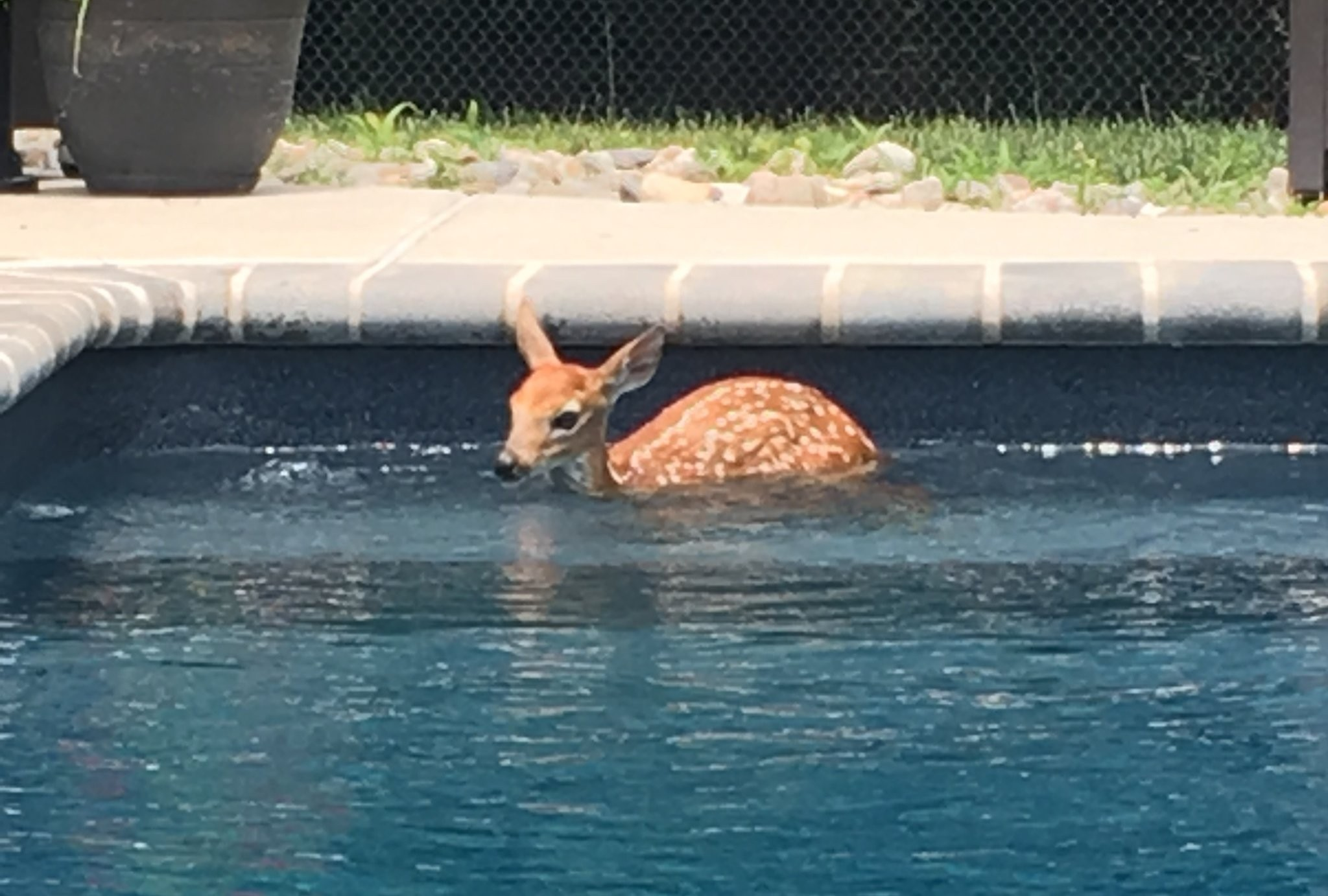 WATCH: Baby deer sneaks into family's pool, swims laps daily - nj.com