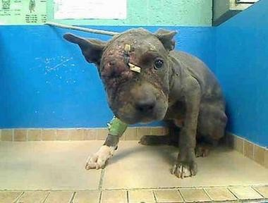 Misty, a pit bull puppy got loose on Friday. Volunteers are searching for the small dog who is still recovering from injuries suffered during her use in a dog fight ring.