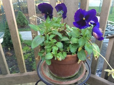 This purple pansy on an outdoor deck in Edison is still flowering nicely, even though it's late December. (Len Melisurgo | NJ Advance Media for NJ.com)