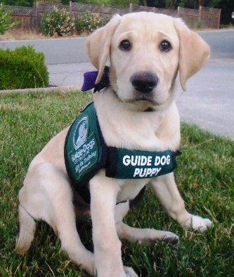 A puppy in training wearing his identifying green vest.