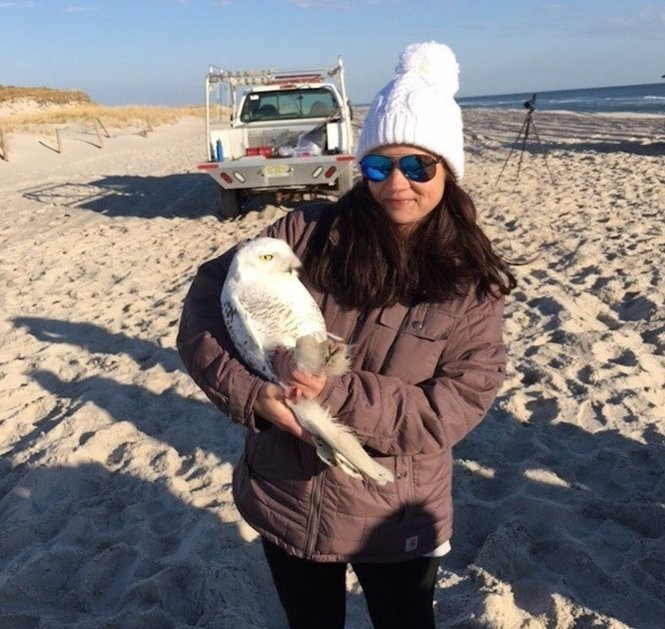 Meredith Martin of New Jersey Audubon holds the Snowy Owl while transmitter is being attached.