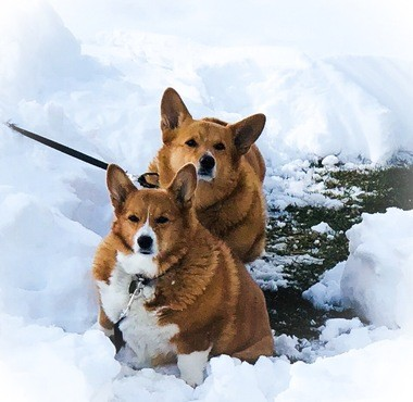 Two weeks ago, Abby and Harley were playing together in a snowstorm. The two dogs were like siblings, Crawford said. (Courtesy Chuck Crawford) Sophie Nieto-Munoz | For NJ.com