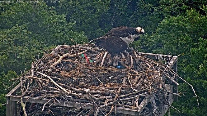 A female osprey shades her young to keep them cool Tuesday at Island Beach State Park. (Photo courtesy: Ben Wurst/CWF)