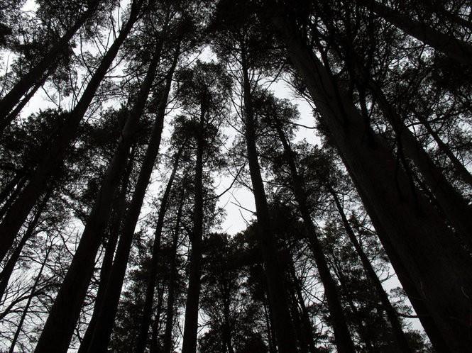 Pine trees reaching skyward in Lakehurst within the Pinelands region. (Wayne Parry | AP file photo)