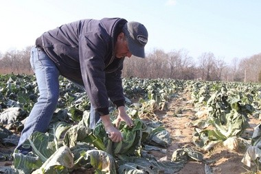 Examining some of the fall crops in the field is Kenny Harris, of Marlboro Farm Market in Quinton Township. Harris was cutting away a head of cauliflower, one of November's most important crops in South Jersey (File photo).