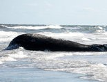 A dead whale, like this one, was found at an area port. (File Photo)