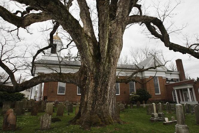 The giant white oak as seen in 2013