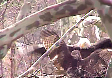 A bald eagle fights off a red-tailed hawk attack to protect its unhatched eggs in this image taken from the Duke Farms' Eagle Cam. (courtesy Duke Farms)