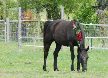 Pictured here is Baia-Roe, a 15-year-old standardbred mare, grazing at Caitlin StewartâÂÂs farm during the Rancho Relaxo's Rescue Bash, which celebrated the one year anniversary of Baia-Roe, who was rescued from being killed at a slaughterhouse. (Submitted Photo)