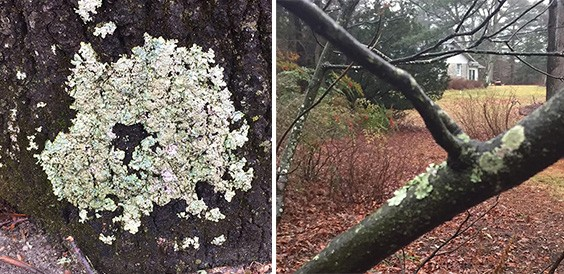 Algae, lichens and moss often form green or grey, powdery or mossy, crusty growths on the stems, branches and trunks of trees and shrubs.