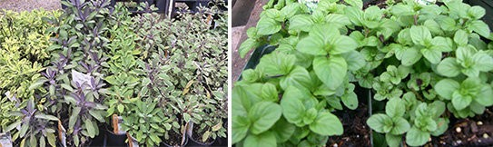 Sage Salvia (left) and Orange Mint (right).