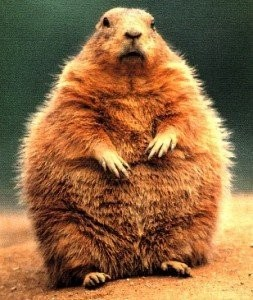 The groundhog in Bridgeton wasn't this big, but it looked this big when it was chasing T. Carl Hemple.