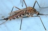 A mosquito known as Aedes japonicus, know to be a vector of the West Nile virus in the United States.