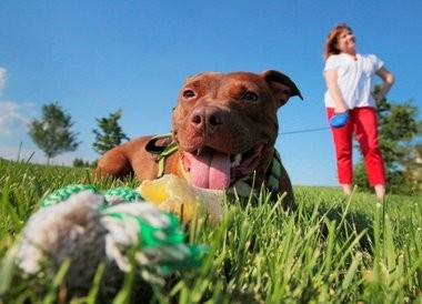 A happy and healthy Patrick the pit bull is shown in this file photo with Patricia Smillie-Scavelli, administrator of Garden State Veterinary Specialists. Patrick inspired a new law to increase animal cruelty penalties.