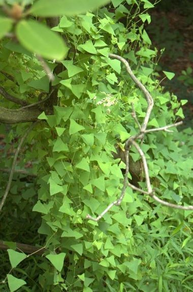 Mile-A-Minute, an aggressive invasive annual, can cover entire trees and shrubs