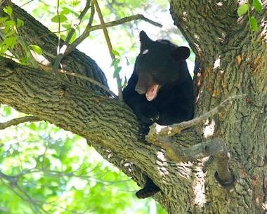 A bear was found hiding in the crawlspace of a vacant Hopatcong house during the week of the New Jersey bear hunt, police say. Pictured here is a bear in Essex County from earlier this year.
