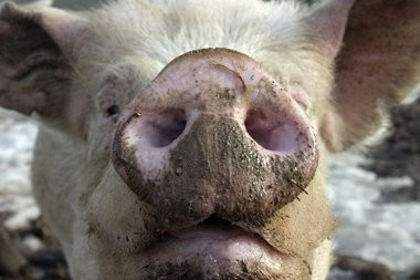 A file photo of a pig in Hunterdon County.