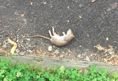 Carlos Lopes, who lives on Silver Avenue in Hillside, said he has seen rats near his home almost weekly recently. He's worried about the diseases they might carry and wants the township to help fix the problem. (Courtesy of Carlos Lopes)