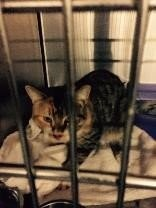 Police said this cat tested positive for rabies after it bit three Cranford residents. (Garwood Police)