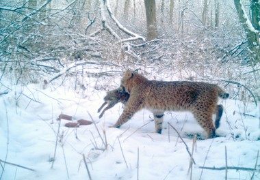 A large bobcat stalking through the snow in Liberty Township.