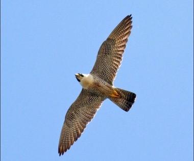 A Peregrine Falcon in flight.