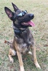 Thor, the St. Tammany Parish Sheriff's Office police dog stabbed during encounter with burglary suspect who was later shot by deputies on Tuesday, Oct. 20, 2015. The suspect died. (St. Tammany Parish Sheriff's Office)