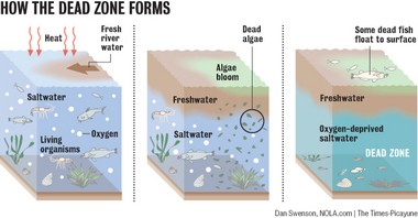 When nutrient-rich freshwater creates a layer atop the saltier Gulf waters, nitrogen and phosphorus feed huge algae blooms. When the algae die, they sink into the saltier water below and decompose, using up oxygen to create the dead zone.