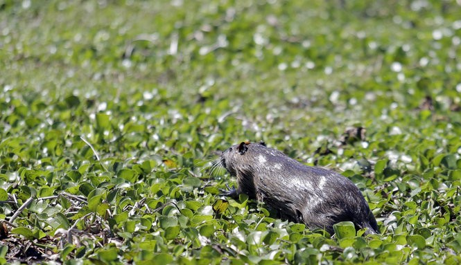 A nutria in the Barataria Preserve of the Jean Lafitte National Historical Park and Preserve on Friday, March 31, 2017. (Photo by Brett Duke, Nola.com | The Times-Picayune)