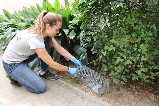 Researcher Anna Peterson checks a live trap for rodents in New Orleans. Photo by Bruno Ghersi.
