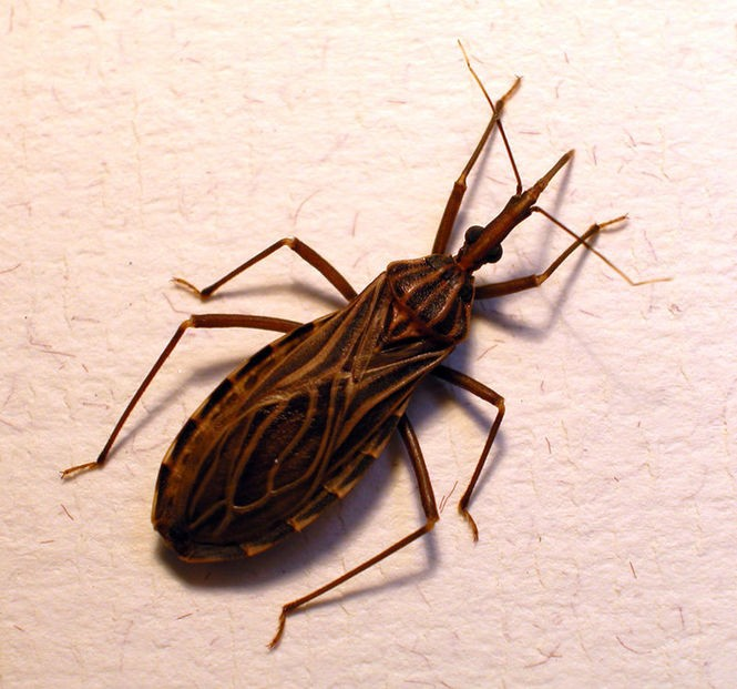 "This species of kissing bug ""Rhodnius prolixus,"" is the principal vector of Chagas disease in several South American countries. Source: Wikimedia commons."