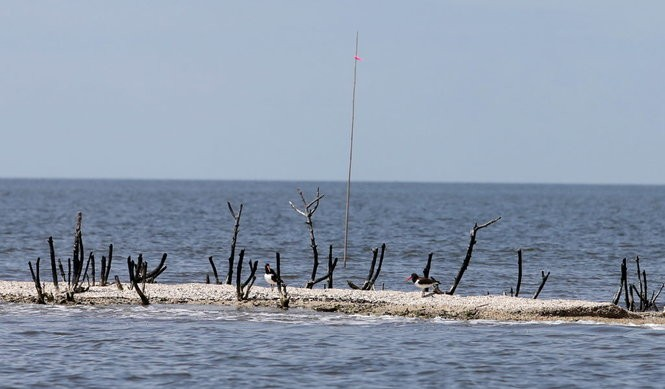 A pair of oyster catchers are all that remains of the rookery on Cat Island in 2015, five years after the BP oil disaster. (Michael DeMocker, NOLA.com / The Times-Picayune)