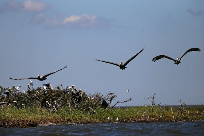 Brown pelicans fly from their nesting grounds on one of the few barrier islands in Barrataria Bay that still supports black mangroves in 2014. (Julia Kumari Drapkin, NOLA.com | The Times-Picayune archive)