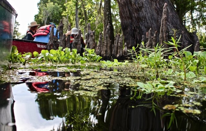 Ecologists pause while canoeing to examine aquatic plants on the water surface near Cypress knees in the Manchac Freshwater Wetlands. (Photo by Joan Meiners, NOLA.com | The Times-Picayune)