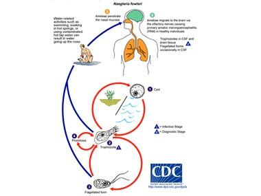 The Naegleria fowleri pathogen and life cycle