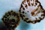 Adult thimble jellyish are known in their larval stage as 'sea lice.'