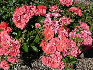 Drift coral roses