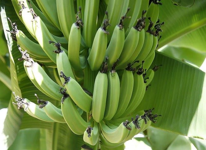 Five Photographs Of Banana In Seach Of >> Banana Plants Answers To All Your Questions About Care Pruning And