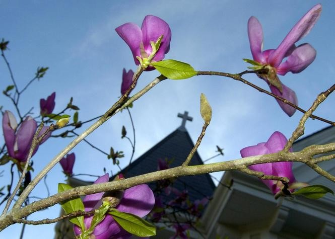 Japanese Magnolias How To Choose Plant And Care For These Spring