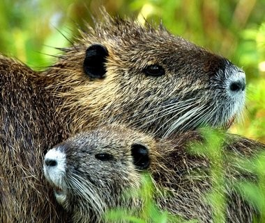 With its bright orange-red teeth already beginning to show, the beauty of a baby nutria may be in the eye of the beholder. This pair was photographed at the Jean Lafitte Nature Study Park in 2005.
