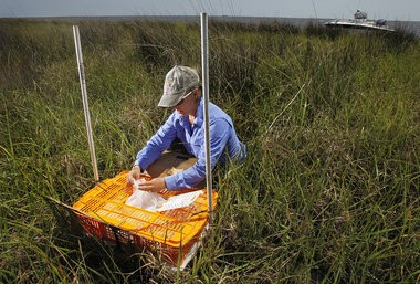 LSU entomologist Linda Hooper-Bui lays out a cage of crickets for a study on the effects of oil on insects in the wetlands on the edge of Bay Jimmy, Friday, April 13, 2011.