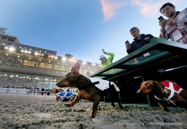 Weiner dogs rocket from the gates during the championship of the Weiner Dog races held at the Fair Grounds earlier this year. Thirty dachshunds, motivated by their owners dangling treats and squeaky toys at the finish line, vied for the championship won by Buster (No. 3 at left).