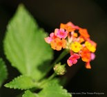 LANTANA CAMARA L: Also known as big sage, is native to the American tropics and has spread all over the world thanks to Dutch explorers. Its use as a mosquito deterrent is documented in Tanzania, but this beautiful invasive is known to outcompete with others plants and can lead to less biodiversity and farm productivity, so it's not recommended unless you plan to monitor it closely. Its repelling power stems from the presence of particular molecules -- terpines and alkaloids such as caryophylene, eucalyptol, alpha-humelene, and germacrene -- that mosquitoes find unpleasant. (Photo by Julia Kumari Drapkin, NOLA.com | The Times-Picayune)