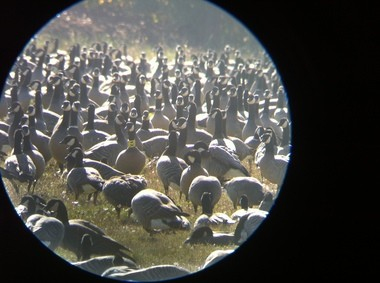 Hunters in Northwest Oregon, who have plenty of geese to choose from, are asked to avoid if possible shooting those wearing special collars.