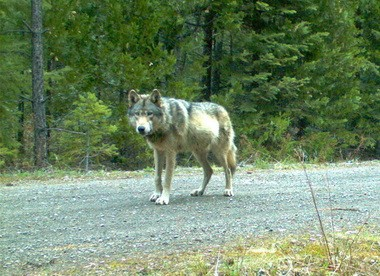 Oregon's most popular wolf, OR7, remains accessible because of his GPS collar. But is it advisable to keep the data secret? Or should it be released it to the public?