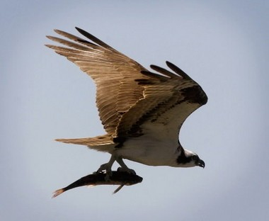 Ospreys got more help than usual this year in plucking northern pikeminnows from the Columbia and lower Snake rivers.