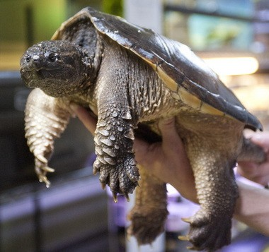 Snapping turtles make life difficult for native species where they've established breeding populations. They also make good soup.